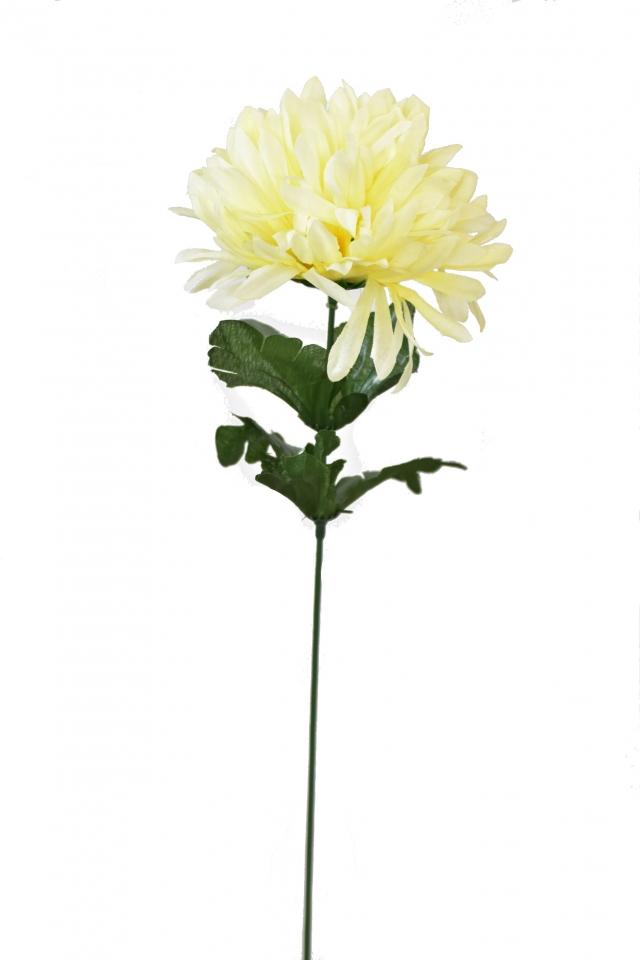 Chryzantéma jehlicovitá světle žlutá 50 cm