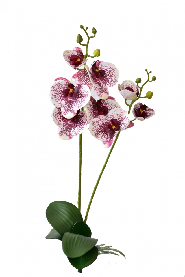 Orchidej Phalaenopsis 58 cm, bílo-bordó