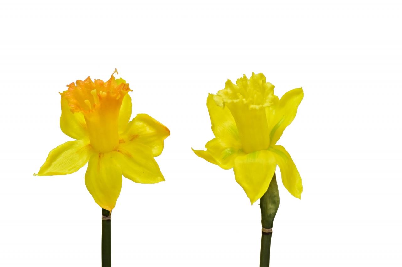 Narcis žlutý 54 cm