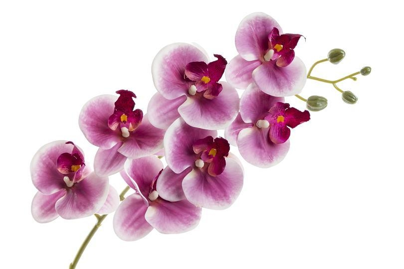 Orchidej Phalaenopsis 77 cm, tmavě fialový